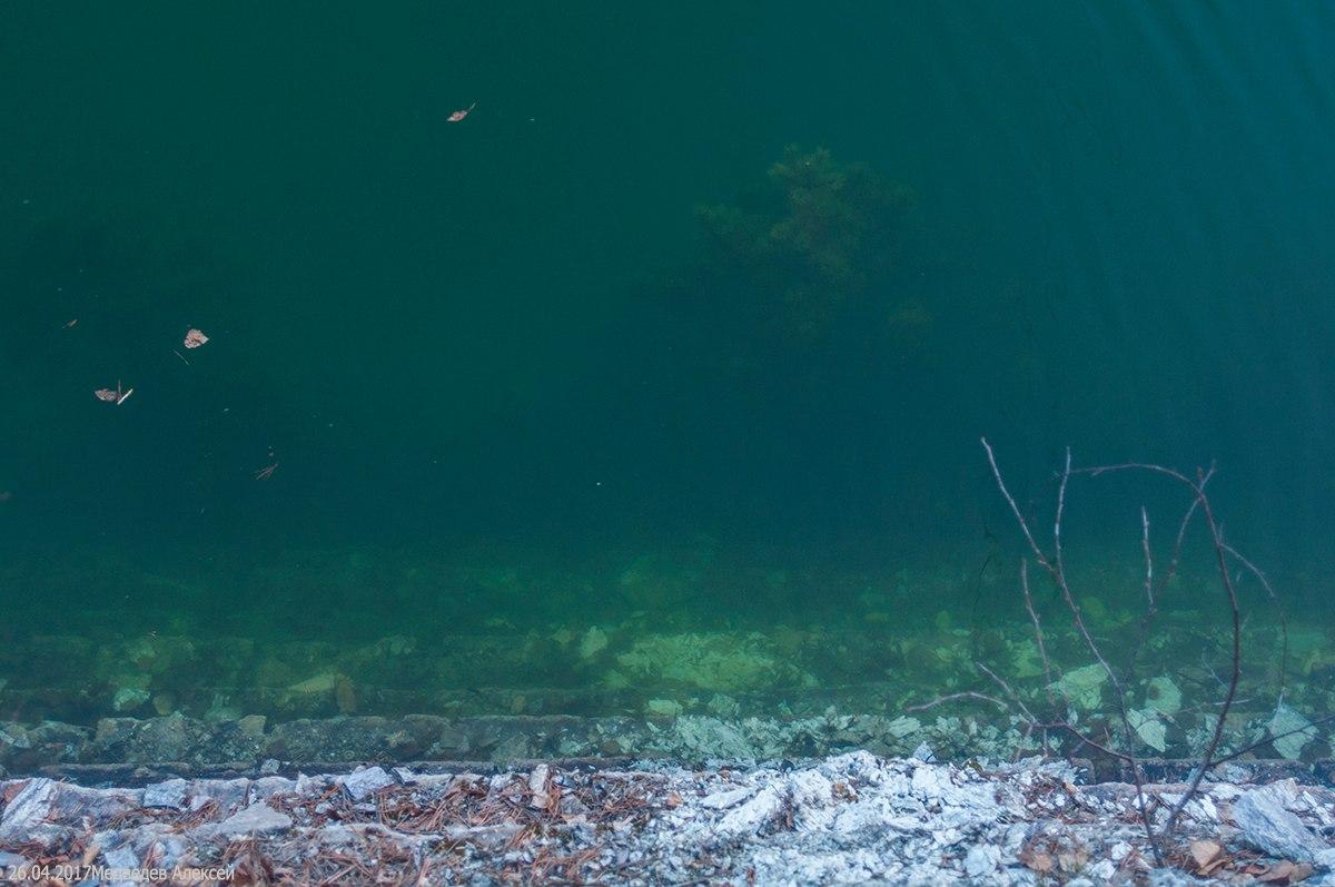 Зелёная сосна под водой. Фото Алексея Медведева.
