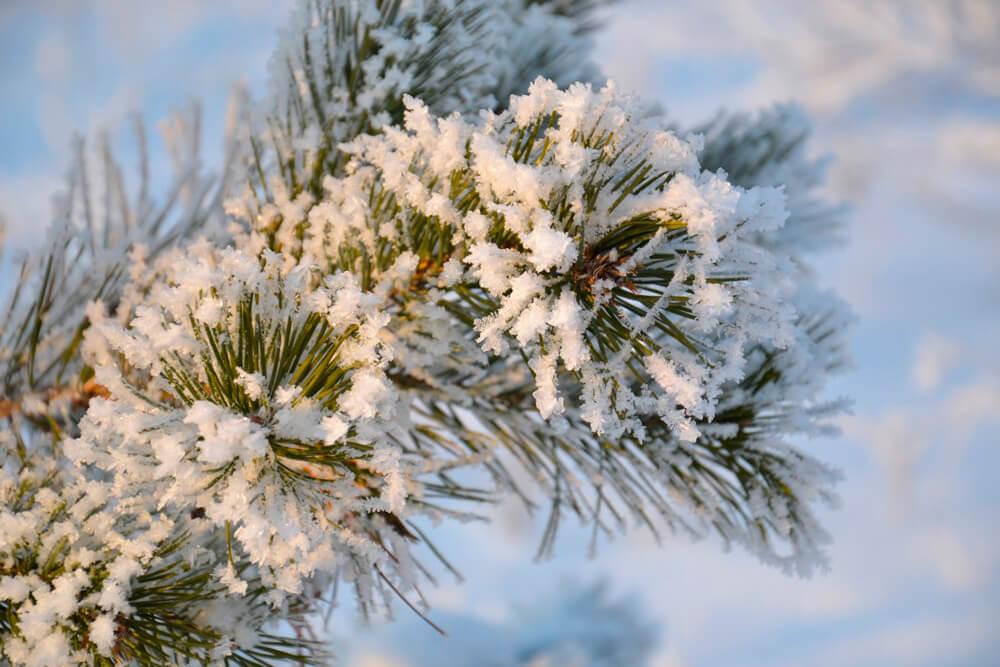 Как легально срубить ёлку к Новому году